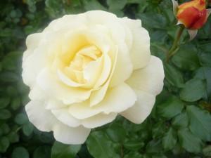 2013-9-22 Mathilde mag die weiße Schöne