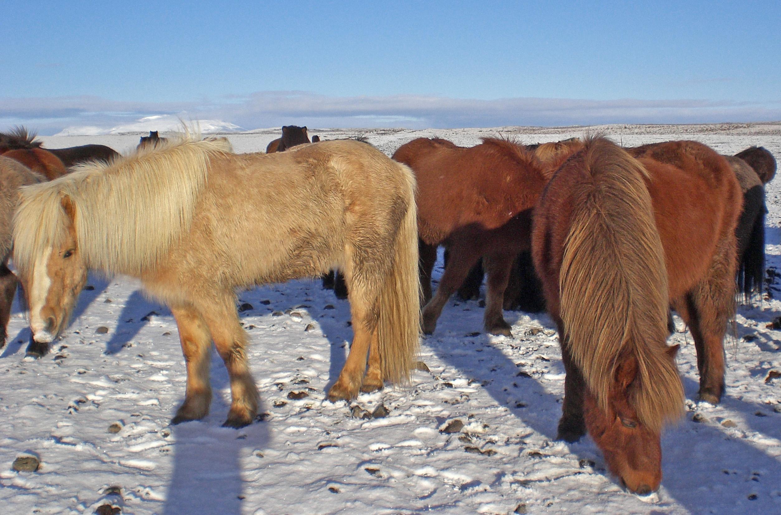 Reiten auf einem Islandpferd