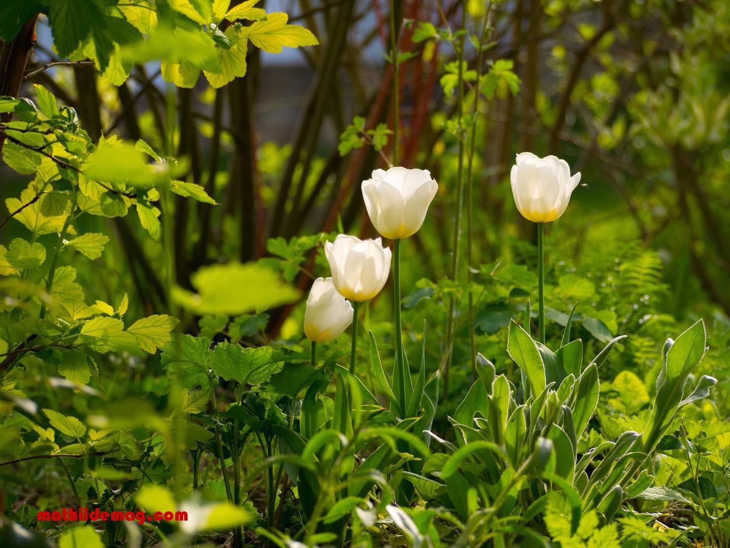 Hamburg im Mai - nicht wirklich, diese Blumen wachsen in der Provinz